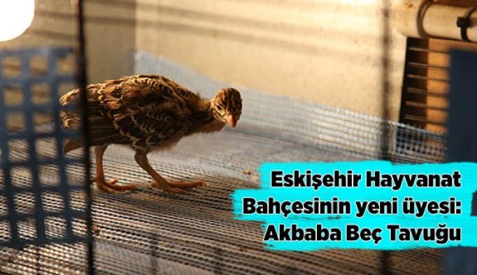 Eskişehir Hayvanat Bahçesinin yeni üyesi: Akbaba Beç Tavuğu