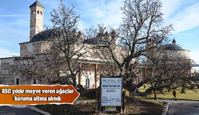 850 yıldır meyve veren ağaçlar koruma altına alındı