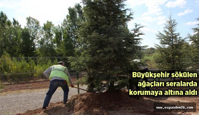 Tramvay hattı için sökülen ağaçlar, koruma altına alındı