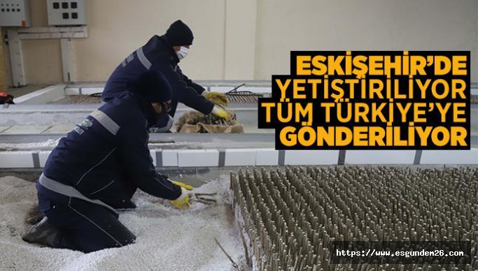 ESKİŞEHİR'DEN, TÜRKİYE'YE DUT FİDANI