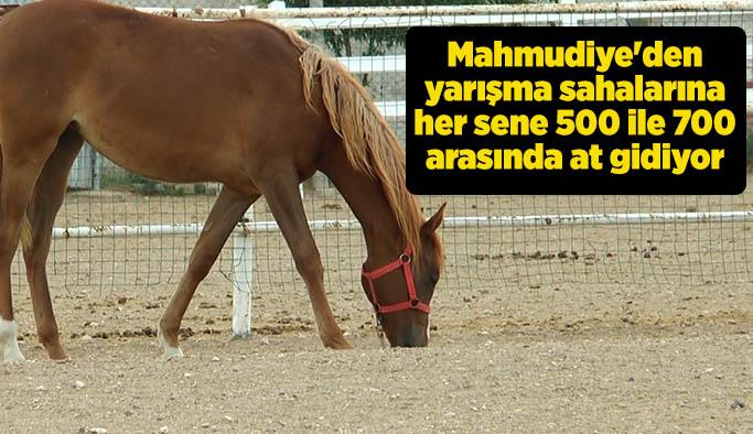 Türkiye'nin en baba atları Mahmudiye'den çıkıyor