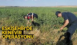 Eskişehir'de kenevir operasyonu: İki bin kök kenevir ele geçirildi